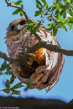 Unusual perspective by Jordi Fernandez Balague on 500px, Pel's Fishing Owl