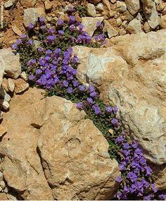 Acinos alpinus  -  Satureja Alpina