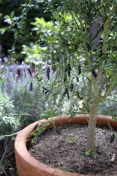 Finger lime trees garden yard citrus trees lime - What is lime used for in gardening ...