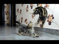 """Funny Cats Compilation of fighting, dancing and playing  Cute Kittens -  #animals #animal #pet #cat #cats #cute #pets #animales #tagsforlikes #catlover #funnycats Funny Cats Compilation of fighting, dancing and playing Cute kittens . Watch new Funny  Cats and kittens  video every Tuesday! Subscribe:   Music: """"Beachfront Celebration"""" by Kevin MacLeod... - #Cats"""