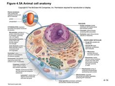 Animal cell biology pictures animal cell diagram homeschool animal cell labeled and functions ccuart