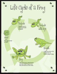 This is a poster/hand-out that can be used to teach students about the life cycle of a frog. All art is original and it would be a perfect science ...