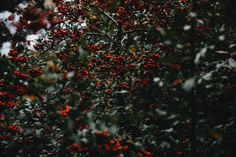 traditional christmas plants holly