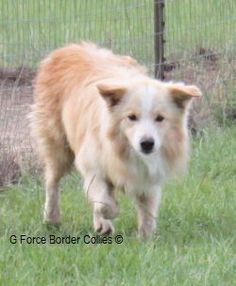 Looks just like our Golden Border Collie, Bailey!