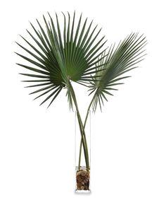 Delta Palmettos Botanical
