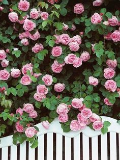 Rose Arbour... this Constance Spry climbing rose is beautiful with clear pink blooms of true 'old rose' form. The flowers are exceptionally large, with a strong myrrh fragrance..it flowers all through the summer!