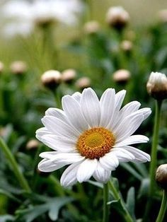 A perfect daisy Happy Flowers, Flowers Nature, My Flower, White Flowers, Flower Power, Beautiful Flowers, Anemone Flower, Sunflowers And Daisies, Field Of Daisies