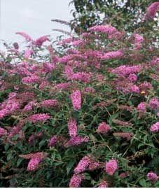 Budelia, Budleia, Budleja, Arbusto de las mariposas, Arbusto de la mariposa…