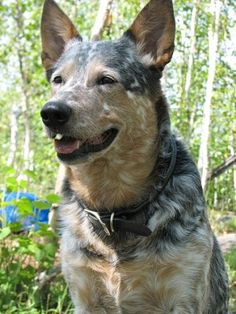 Australian Cattle Dog, aka blue heeler. Looks exactly like our dog, Gunner, who was a member of our family for 15 years and an awesome dog - he will be missed.