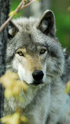 protect wildlife, Save the wolf Wolf Spirit, Spirit Animal, Wolf Pictures, Animal Pictures, Beautiful Creatures, Animals Beautiful, Majestic Animals, Tier Wolf, Malamute