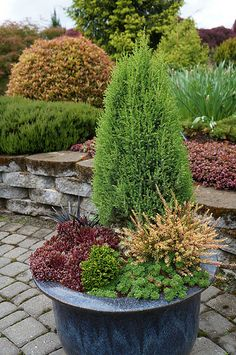 Container of mixed conifers including Podocarpus | by KarlGercens.com GARDEN LECTURES