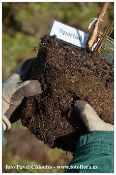 Pavlova, Apollo, Gardening, Blog, Lawn And Garden, Blogging, Horticulture, Apollo Program