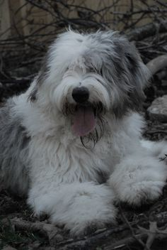 Old English Sheepdog * You can get more details of pet dogs by clicking on the image.