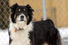 Meet Brena, a Petfinder adoptable Australian Shepherd Dog | Spring City, TN | At almost 7 years Brena still has lots of energy and would do best with another dog in the home...