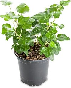 English Ivy, excellent air purifier for the home, but must be kept away from pets and children.
