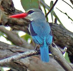 Mangrove Kingfisher has a large global range. birdquest-tours.com