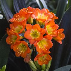 Colorado Clivia's plant number 2219.  Clivia miniata, Ndwedwe Green Velvet x Bronze Coin.