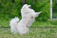japanese spitz. I will have one in the near future:)