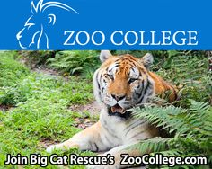 Zoo College is the only online, virtual training center, where you can test your skills against real life animal care challenges. Big Cat Rescue provides the content for this zoo keeper training. http://ZooCollege.com