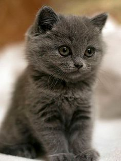 A kitty?! :D I like Russian Blues! I don't think this is one though but it is still adorable