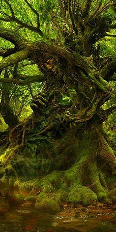 love this tree, it's so beautiful. Sacred tree in the magical forest where faeries and other elementals call home, play, and dance Beltaine, Tree People, Nature Spirits, Unique Trees, Magical Forest, Magical Tree, Dark Forest, Green Man, Tree Art