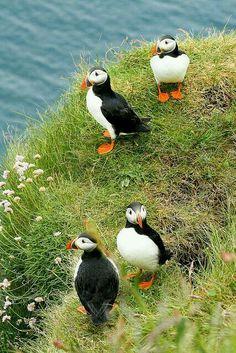 Frailecillo -Puffin- (Fratercula arctica). Es un ave caradriforme de la familia Alcidae. Mide entre 27 y 30 cm y tiene una envergadura de entre 47 y 63 cm. Vive en muchas de las islas del norte del Atlántico.