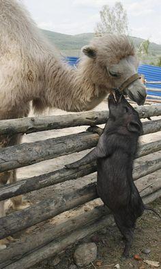 animais-camelo fazendo carinho