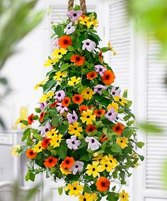 black eyed susan vine~love these~ easy to grow