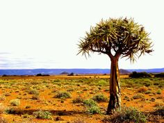 Kokerbome in the Northern Cape Go Green, Country Roads, Madagascar, Om, Landscapes, Paisajes, Scenery