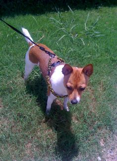A paracord dog harness, by Paracordable.