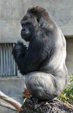 Gorilla my dreams? Japanese women have gone ape over Shabani, a western lowland gorilla residing at Nagoya, Japan's Higashiyama Zoo and Botanical Gardens. Gorilla Gorilla, Silverback Gorilla, Primates, Gorillas In The Mist, Baby Gorillas, Animals And Pets, Cute Animals, Monkey World, Social Networks