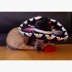 "#HappyCincoMayo #chihuahua #puppy #CincodeMayo my puppy ""Baby"" teacup chihuahua."