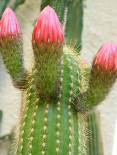 Echinopsis huascha – Red Torch Cactus, Desert's Blooming Jewel See its profile and more photos here ◢ http://www.worldofsucculents.com/echinopsis-huascha-red-torch-cactus-deserts-blooming-jewel/