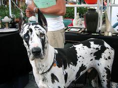 Harlequin Great Dane. my love <3