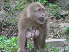Supermom Primates Raise Twins    The first occurrence of twins for free-ranging Tibetan macaques reveals how tough it is for primate twins to survive.