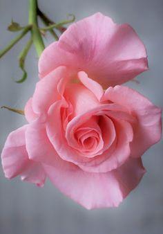 ✿⊱❥ Rosa, a rainha dos jardins... tão frágil, suave com suas pétalas aveludadas, e mesmo assim... é tão majestosa, de tanta vida e beleza sem fim.
