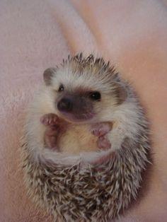 @nsidorkin hedgehog
