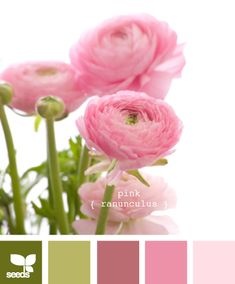 pink ranunculus palette by design seeds (shabby chic color palette) Colour Pallette, Color Palate, Colour Schemes, Color Combinations, Green Palette, Deco Pastel, Design Seeds, Colour Board, Color Swatches