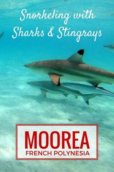 Snorkeling with Sharks and Stingrays in Moorea with kids   French Polynesia with kids   Tahiti with kids