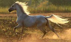 Самые красивые породы лошадей 3. Орловский рысак (орловская рысистая)