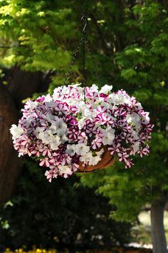 Easy Wave Starfish Mix in a Hanging Basket. wave-rave.com
