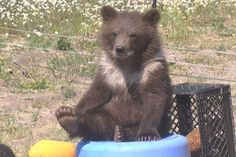 Bear cub finds new home at Montana Grizzly Encounter | Missoula Local News - NBCMontana.com