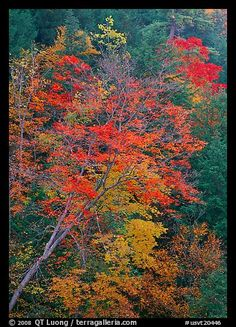 Maple tree with red leaves, Quechee Gorge. Vermont, New England, USA (color)