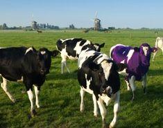 Ze willen anders zijn dan anderen. the purple cow