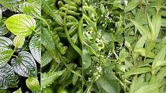 รีบหากินผักริมรั้ว 10 ชนิดนี้โดยด่วน! ถ้าอยากสุขภาพดีอายุยืน ความจำดี - เกษตรก้าวหน้า