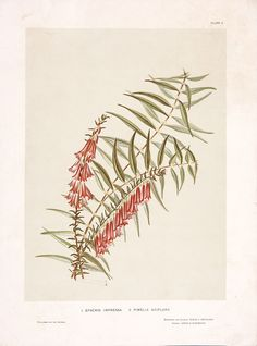 Plate I: 1. Epacris impressa 2. Pimelia axiflora; from: William Bauerlen and Gertrude Lovegrove, The wild flowers of New South Wales Part I,  Angus & Robertson, Sydney, 1891. Meroogal collection, Historic Houses Trust [M86/1807]. Photograph Jenni Carter.