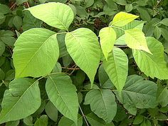 Plant Perp Walk: How to ID Poison Ivy