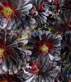 Gardens, Branches Succulents, Aeonium Schwarzkopf Dramatic, Burgundy Multi, Black Aeonium