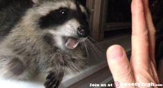 excellent raccoon gif - Pesquisa Google