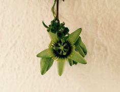 Passiflora coriacea